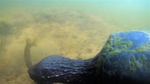 Ferocious tiny sunfish attacks snapping turtle in her nest