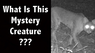 What Is This Mystery Animal? Is this a Fox, Bobcat, Dog, Cougar, or Something Else? - Video
