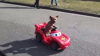 Adorable puppy drives mini car with ease! - Video
