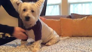 Westie loves to play dress up! - Video