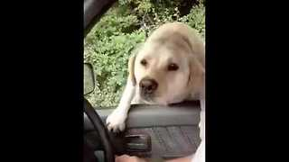 Labrador Tries and Fails to Jump Into Car, Then Tries Again - Video