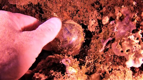 Scuba diver finds world's largest single celled organism
