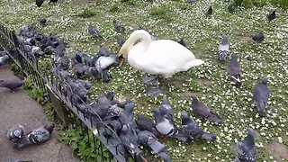 Swan Really Doesn't Like Sharing Its Food - Video