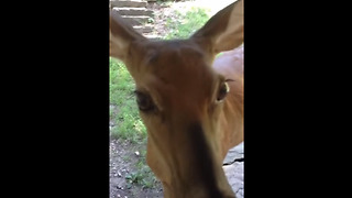 Rehabilitated deer visits caretaker from the wild - Video