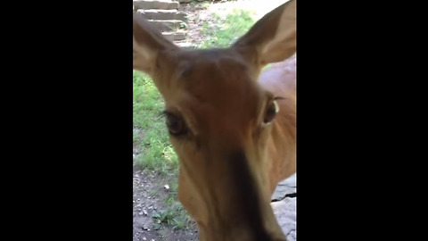 Rehabilitated deer visits caretaker from the wild