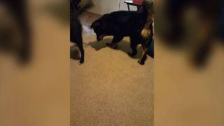 2 Dogs Chase Laser Pointer - Video