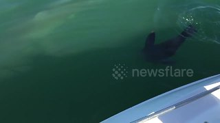 Seal Chases Down Great White Shark Off The Coast Of A Bay - Video
