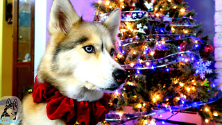 Twas The Night Before Christmas: Siberian Husky Version! - Video
