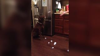 Chocolate Labrador Wins At Catching Balls of Paper