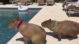 Pair of Capybaras Enjoy a Poolside Date - Video