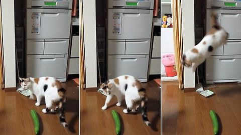 Cats Scared of Cucumber New Compilation