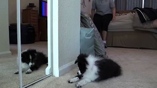 Cute Puppy Confused By Mirrors