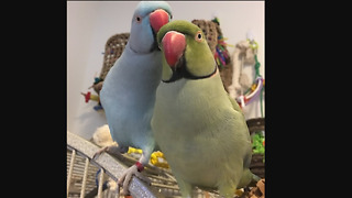 Emotional Parrot Siblings Give Love And Share Kisses - Video