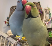 Parrot kisses brother, says