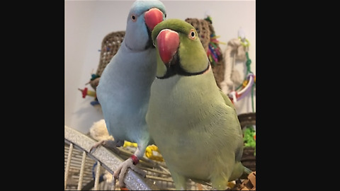 Emotional Parrot Siblings Give Love And Share Kisses