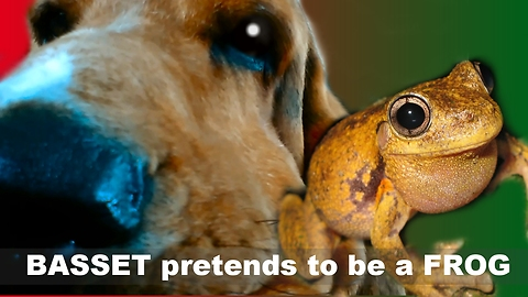 Basset pretends to be a frog