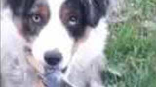 Cute Disobedient Dog Lives on the Wild Side as He Runs With Scissors - Video