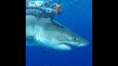 Massive Great White Seen Eating a Sperm Whale