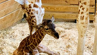 April The Giraffe Gives Birth To Healthy Male Calf