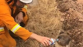 Firefighter gives water to thirsty Koala as Australia bushfires rage on