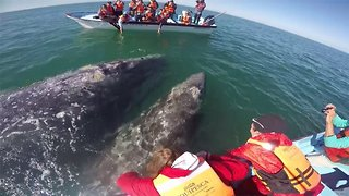 Couple's Boat Pushed Around By Playful Grey Whales And Their Babies