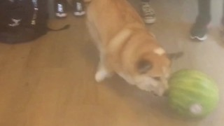Corgi Plays With Watermelon - Video