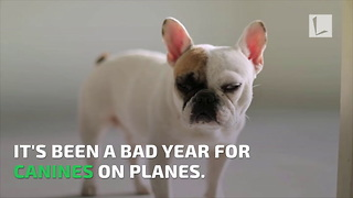 French Bulldog's Tongue Turns Blue, Flight Attendants Quick Thinking Saves Her Life - Video