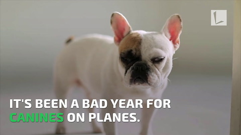 French Bulldog's Tongue Turns Blue, Flight Attendants Quick Thinking Saves Her Life