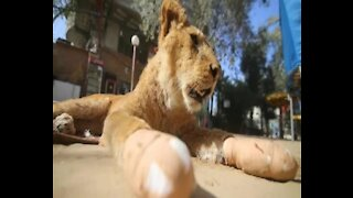 SOUTH AFRICA - Johannesburg - Lions from the Gaza (3mS)