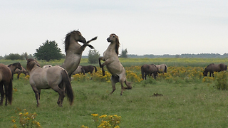 Majestic wild horses battle it out for herd leadership - Video