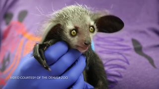 Denver Zoo's baby aye-aye out in habitat