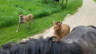 Brave little 18 day old foal goes on his first trail ride  - Video
