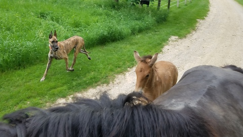 Brave little 18 day old foal goes on his first trail ride