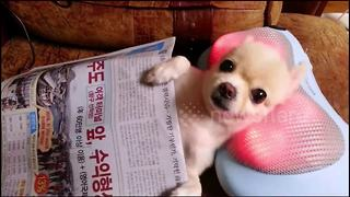 Pampered Pooch Knows How To Relax On A Massage Pillow - Video