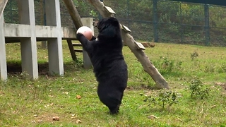 Rescued Moon Bear Plays With Her Pink Ball - Video