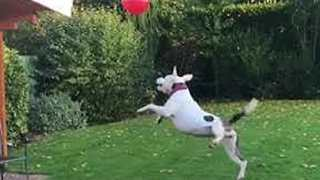 Pup Siblings Keep Balloon In The Air With Some Serious Teamwork - Video
