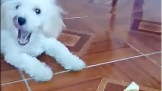 Poddle dog with the pice of bread  - Video