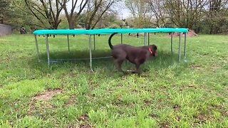 Foolish Doggo Runs In Circles Around Trampoline Trying To Catch Elusive Ball