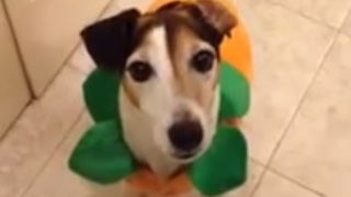 Jack Russell Terrier answers yes and no - Video