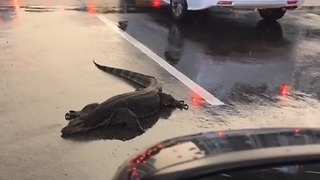 Water Monitor Lizard Sprawls on Singapore Road - Video