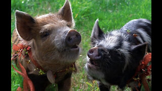 Pigs can play video games, according to a new study