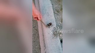 Tarantula jumps at curious woman who gets her dad to inspect it - Video