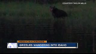 Grizzly wanders into Idaho