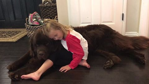 Huge Newfoundland dog sneezes on little girl