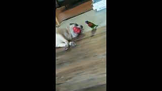 Parrot attempts to play with dog's food toy