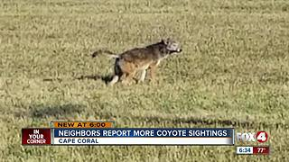 Cape neighbors spot more coyotes - Video