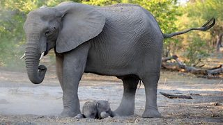 Baby elephant can't find its feet – Seconds after birth - Video