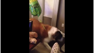 Saint Bernard Gets Excited Over A Balloon - Video