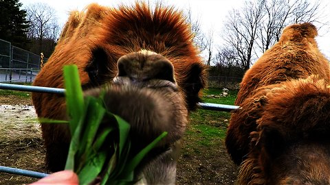 Man takes pity on camels when tasty grass is out of reach