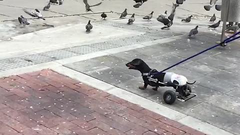 Paralyzed Dog Lives Life To The Fullest By Chasing Pigeons